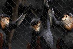 Tre scimmie Fotografie Stock