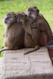 Tre scimmie stringenti a sé Fotografia Stock Libera da Diritti
