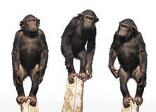 Tre scimpanzè Immagini Stock Libere da Diritti