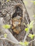 Tre scoiattoli di volpe del bambino Fotografia Stock Libera da Diritti