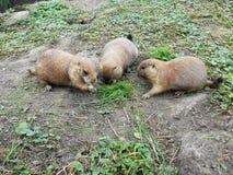 Tre scoiattoli a terra artici in natura Immagini Stock Libere da Diritti