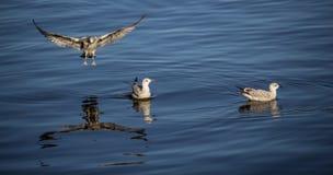 Tre Seagulls på havet Arkivbilder