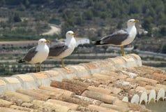 Tre seagulls på taköverkant arkivbilder