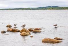 Tre seagulls som sitter på flotta, vaggar Royaltyfria Bilder