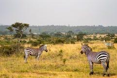 Tre sebror, en med den högra blicken i savannahen av Nairobi fotografering för bildbyråer