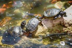 Tre sköldpaddor Royaltyfria Foton