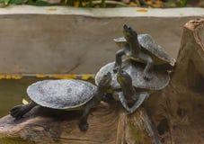 Tre sköldpaddor på timmer royaltyfria bilder