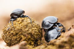 Tre skalbaggar royaltyfri bild