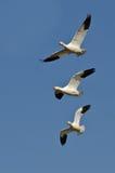 Tre snögäss som flyger i en blå himmel Royaltyfria Bilder
