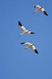 Tre snögäss som flyger i en blå himmel Arkivbild