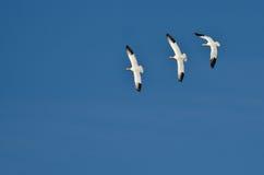 Tre snögäss som flyger i en blå himmel Royaltyfri Bild