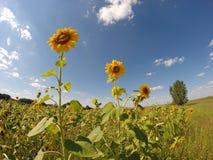 Tre solrosor i fältet Royaltyfria Foton