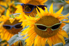 Tre solrosor med solglasögon i fältet Arkivfoton