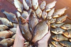 Tre sono pesci pescati freschi del fiume in mani Pesce pescato della carpa su legno Pesce di acqua dolce di cattura su fondo di l Immagini Stock