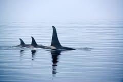 Tre späckhuggare med enorma rygg- fena på den Vancouver ön Royaltyfri Bild