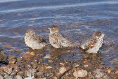 Tre sparvar badar i floden royaltyfri fotografi