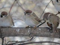 Tre sparvar på en filial Träd frost royaltyfri fotografi