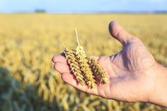 Tre spighette di grano dorato nelle mani maschii sul campo del fondo di grano maturo Agricoltura, estate Immagine Stock