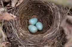 Tre spräckliga ägg för turkos i redet av den Eurasian koltrasten i deras naturliga livsmiljö arkivfoton