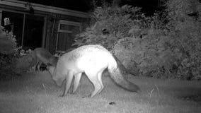 Tre stads- rävar i hus arbeta i trädgården på nattmatning arkivfilmer