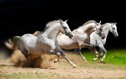 Tre stallions sul nero Immagine Stock