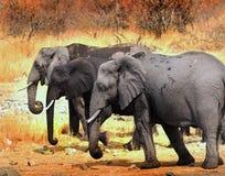 Tre stora afrikanska elefanter som går till och med den torra busken i den Hwange nationalparken royaltyfri bild