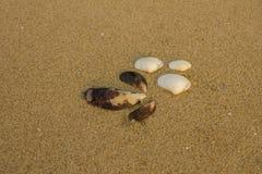 Tre stora vita och närbild för tre bruna skal på en suddig gul sand med andra små stycken av skal fotografering för bildbyråer