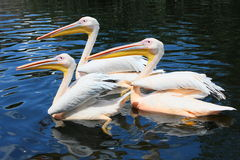 Tre stora vita pelikan Arkivbild