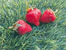 Tre strawberrys på gräset Fotografering för Bildbyråer