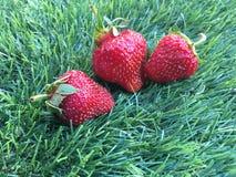 Tre strawberrys på gräset Royaltyfria Bilder