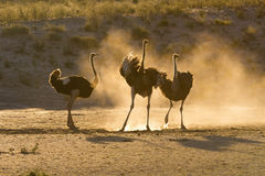 Tre strutsar i Kalaharien med damm Royaltyfri Fotografi
