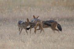 Tre svärtar drog tillbaka sjakaler som spelar i Kalahari på en slätt Arkivbild