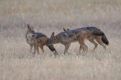Tre svärtar drog tillbaka sjakaler som spelar i Kalahari på en slätt Royaltyfri Bild
