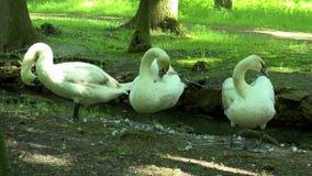 Tre svanar är i skogen på bankerna av The Creek arkivfilmer