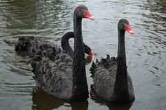 Tre svarta svanar Royaltyfria Bilder
