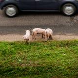 Tre svin på en väg royaltyfria foton