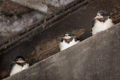 Tre swallows Fotografia Stock