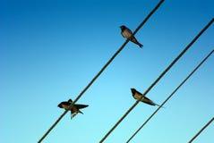 Tre swallows Immagini Stock Libere da Diritti