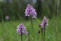 Tre-tandad orkidéNeotinea tridentata som blommar i ett fält i Slovenien arkivbilder