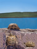 Tre tartarughe Fotografie Stock Libere da Diritti
