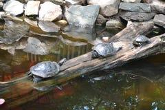 Tre tartarughe che prendono il sole su un ceppo Fotografia Stock