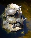 Tre tartarughe che prendono il sole su una roccia Fotografie Stock Libere da Diritti