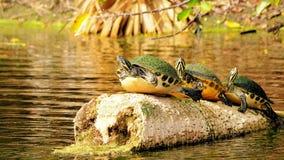Tre tartarughe litoranee del cooter Fotografia Stock Libera da Diritti