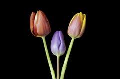 Tre teste del garofano sulla terra della parte posteriore del nero Fotografia Stock Libera da Diritti