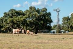 Tre Texas Longhorns Royaltyfri Fotografi