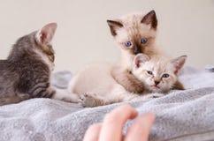 Tre tillfälliga kattungar som spelar, mänsklig hand Arkivfoton