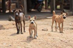 Tre tillfälliga vakthundkapplöpning som skyddar territoriet royaltyfria foton