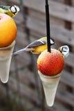 Tre titmice che si siedono sulla mela congelata immagine stock