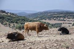 Tre tjurar som betar i fältet arkivbilder