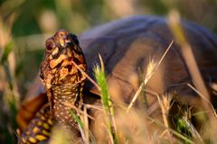 Tre toed asksköldpadda Royaltyfri Fotografi
